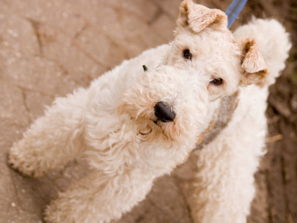 Fox terrier de arame