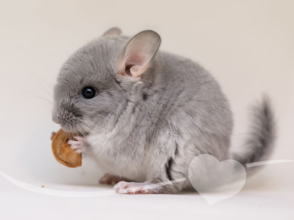 Chinchilla comiendo
