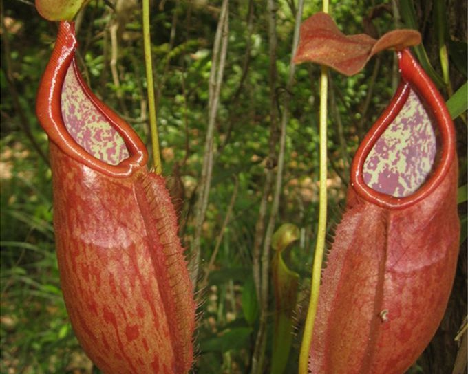 Nepenthes suratensis