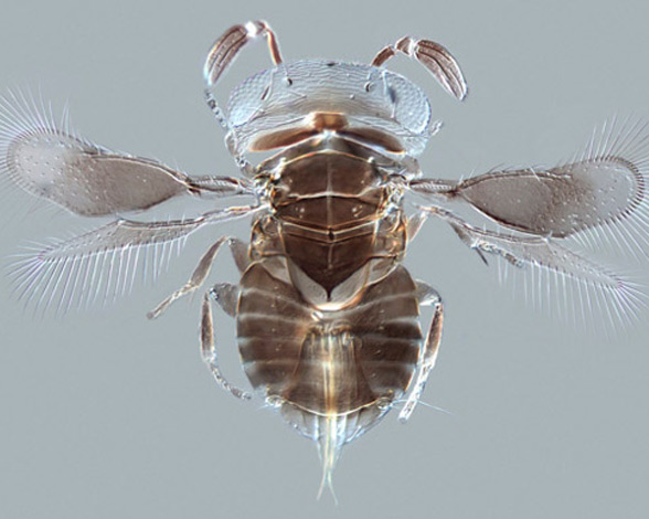 Avispa parasitoide - Wellcome Image Awards 2015