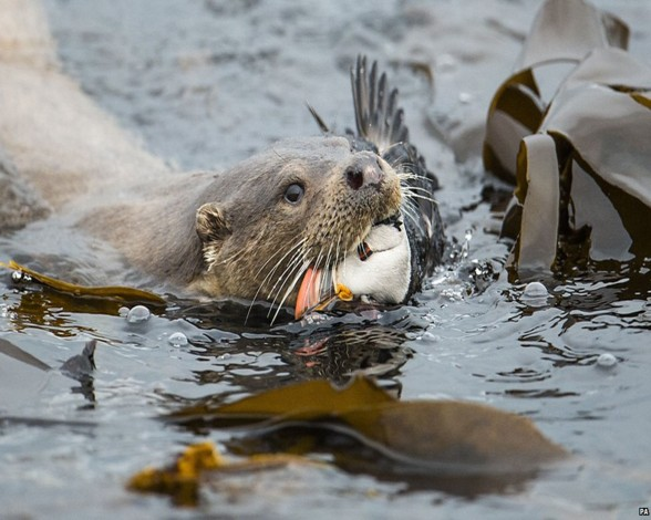 Otter y Puffin